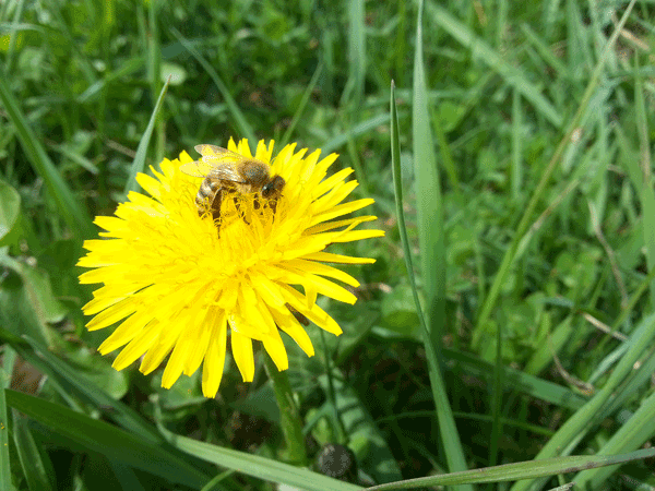 abeille sur fleur de pissenlit