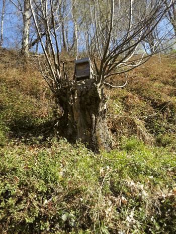 ruche warré piège dans un arbre