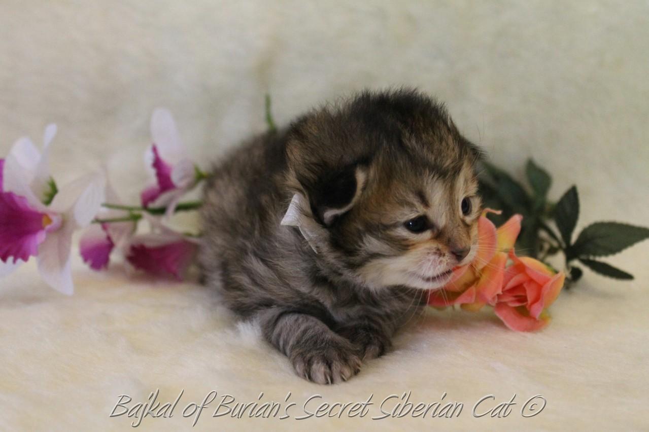 Bajkal 2 weeks old