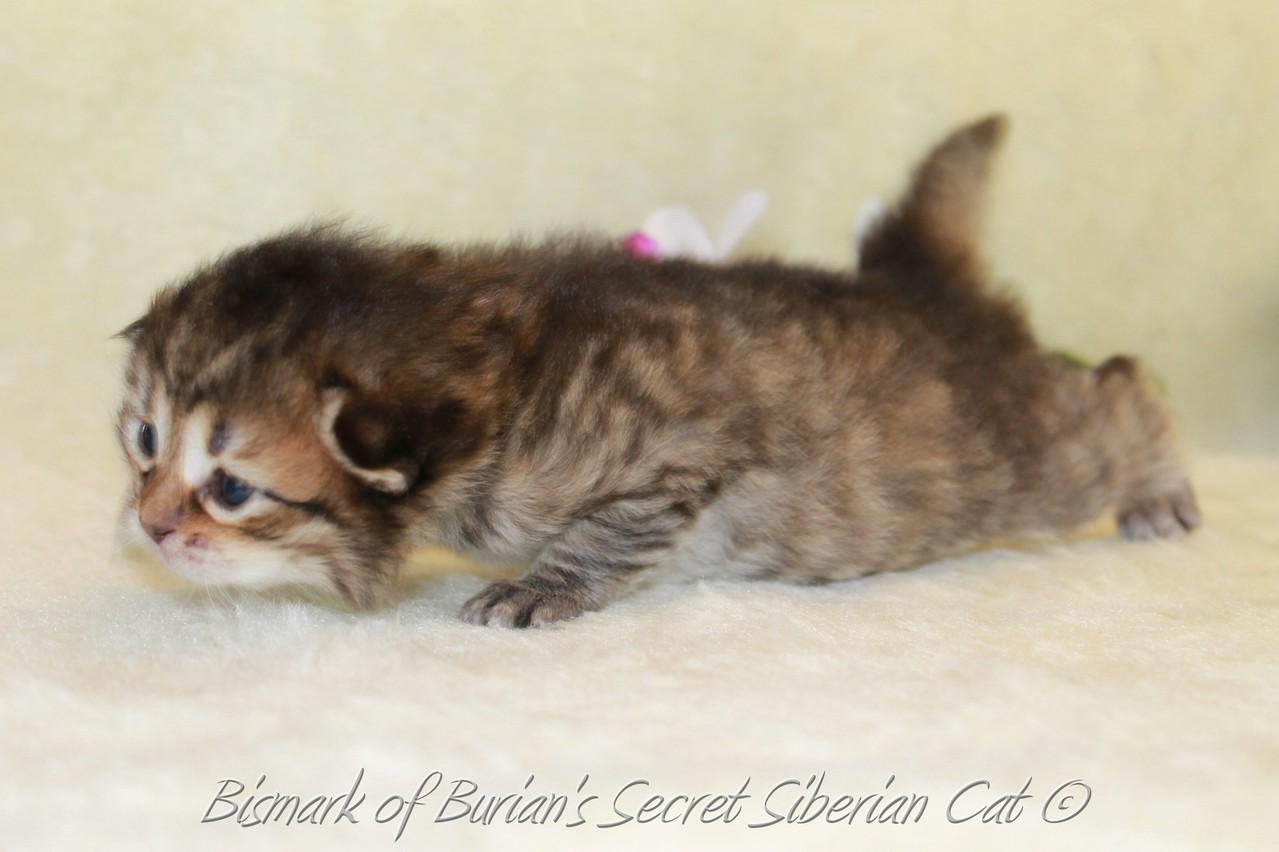 Bismark 2 weeks old