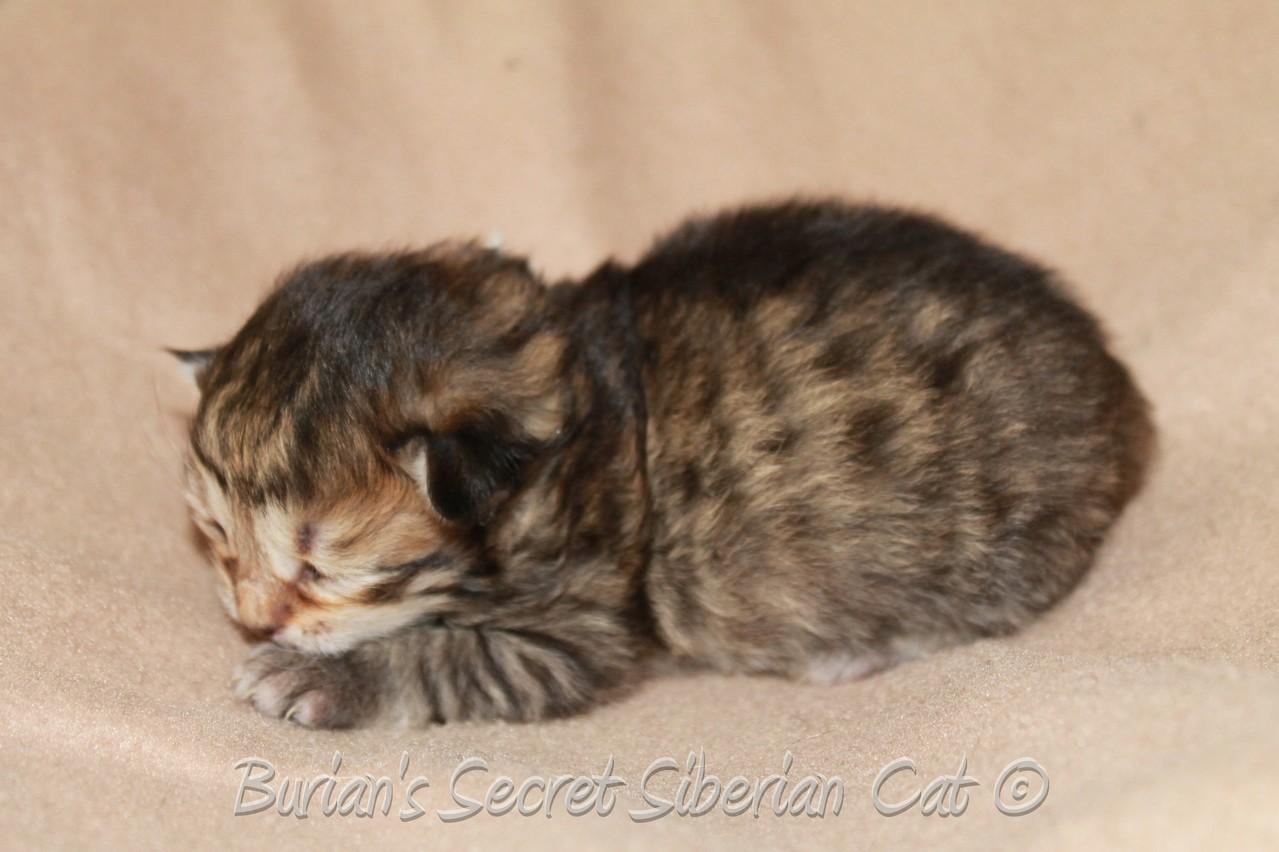 Bajkal 9 days old
