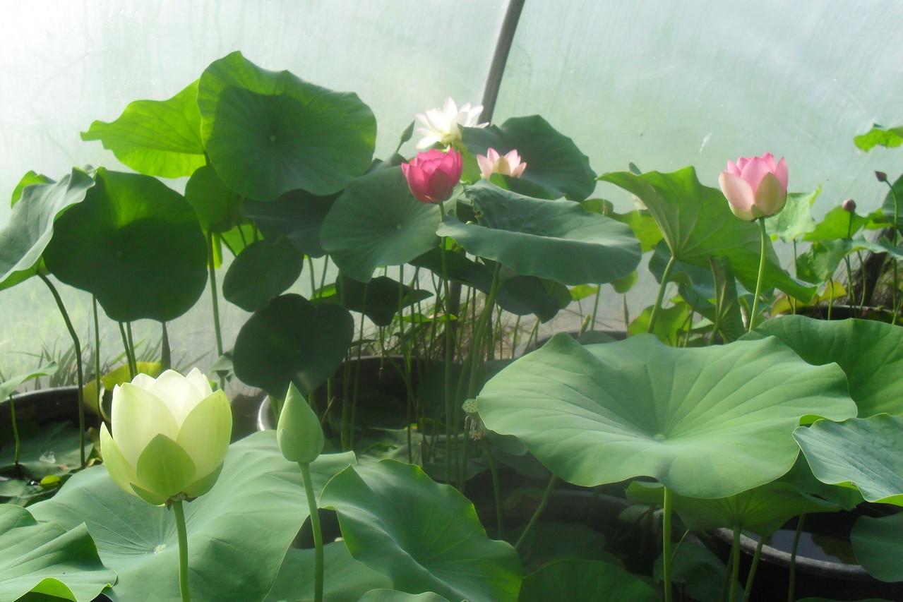 lotosblumen nelumbo kaufen lotusland seerosenfarm. Black Bedroom Furniture Sets. Home Design Ideas