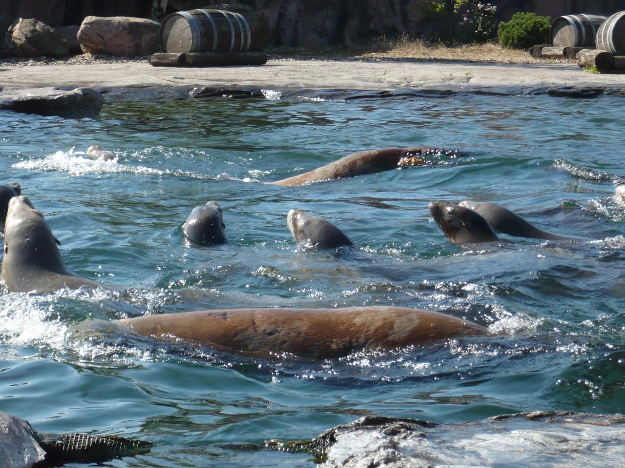 Seerobben im Wasser