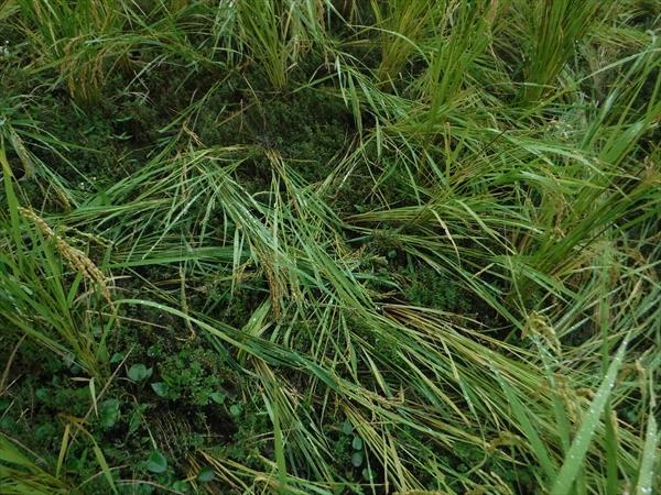 食害はないですが、籾ごと泥の中に押し込まれているのもあります。