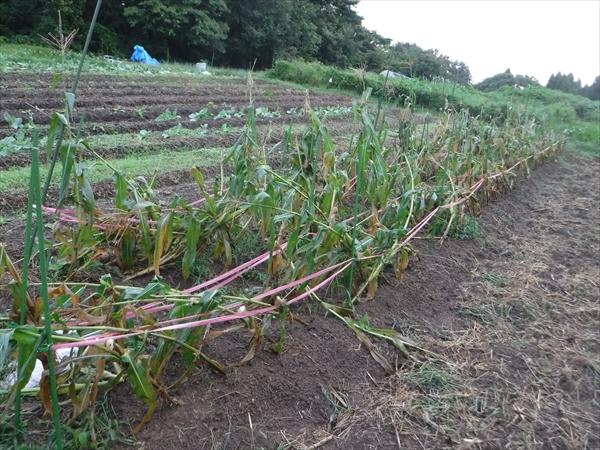 そして台風。もう収穫は無理かなあ。