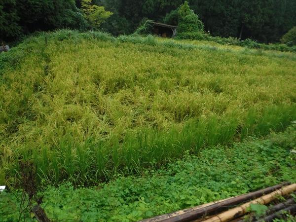 鹿に入られました。今年は米も売ってみようとおもっていました。