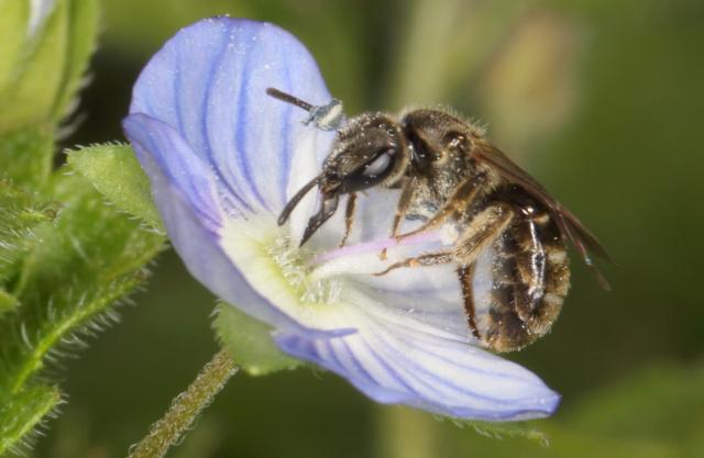 Eine Biene der Gattung Furchenbienen (Halictus spec.) an einer Blüte eines Ehrenpreis, eine unserer kleinsten Bienen