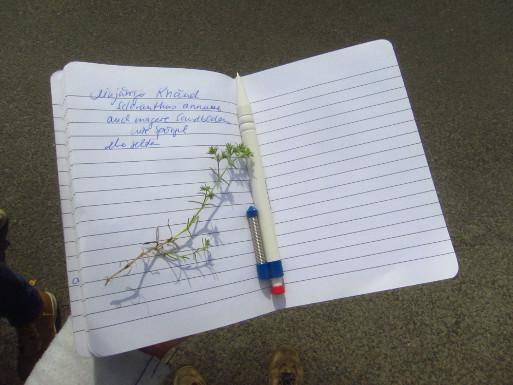 Die vorgestellten Arten wurden vorbildlich dokumentiert: hier der Einjährige Knäuel, Scleranthus annuus