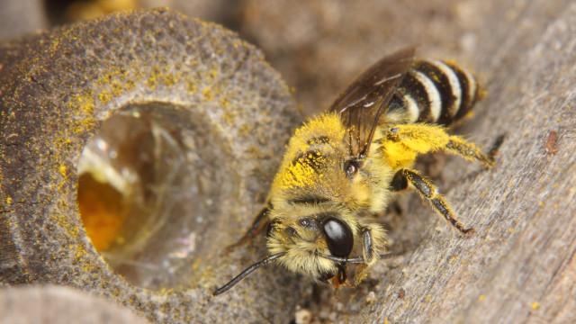 Ein Weibchen der Gemeinen Seidenbiene (Colletes daviesanus)