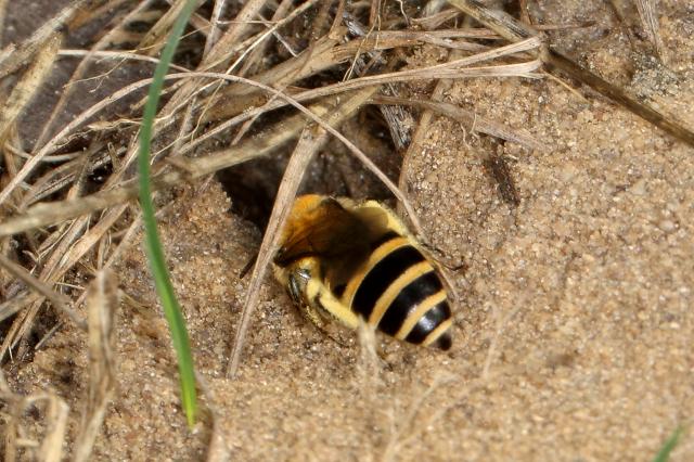 Weibchen der Heidekraut-Seidenbiene (Colletes succinctus), die in den Klatenbergen nur wenig Pollen einträgt, im Eingang der Brutröhre.