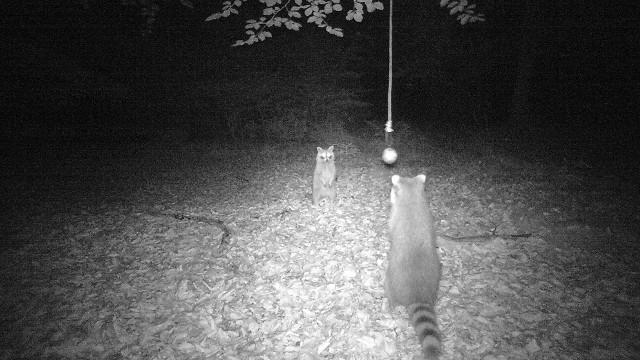 Zwei Waschbären in der Fotofalle