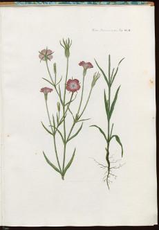 Die Kornrade ist eine der zehn zum Wettbewerb gestellten Pflanzenarten, die von Franz Wernekinck vor 200 Jahren gemalt worden waren