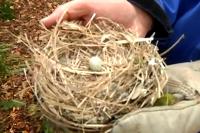 Trauerschnäpper-Nest mit nicht ausgebrütetem Ei
