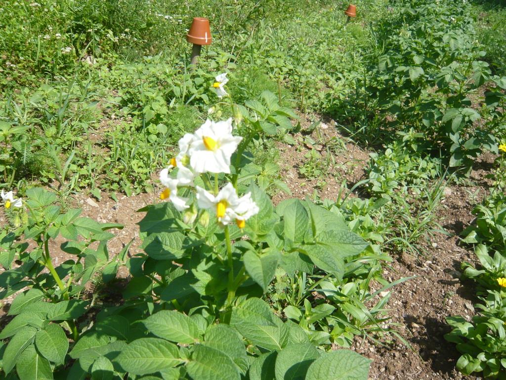 blüten von der kartoffel