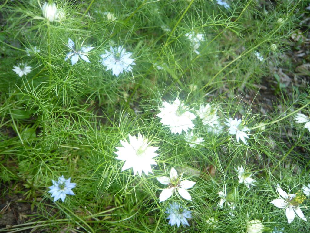 damaszener kümmel - jungfer im grünen (eine wunderschöne blüte)