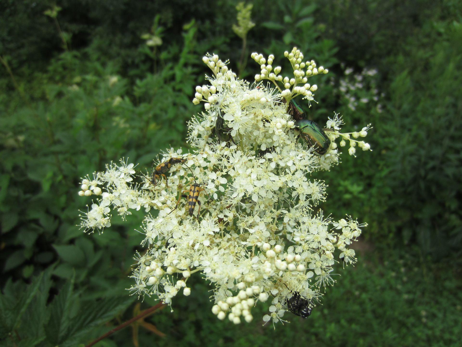 mädesüßblüte – doldengewächs – wiesenkrimi
