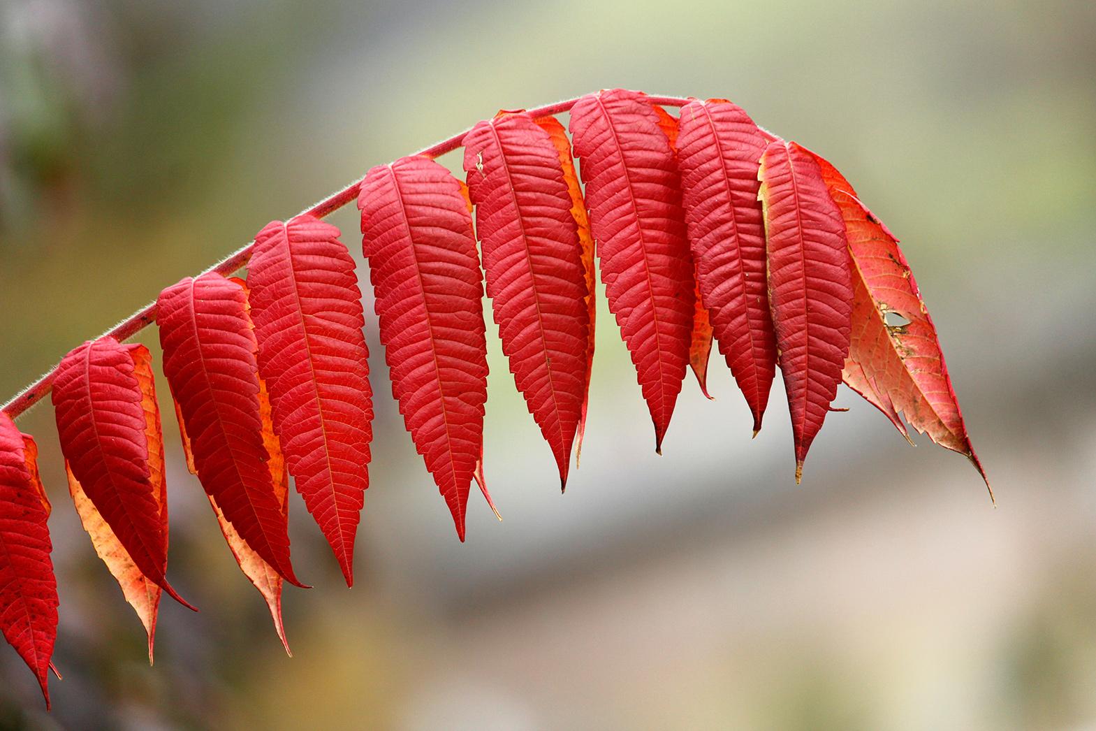 essigbaumblatt