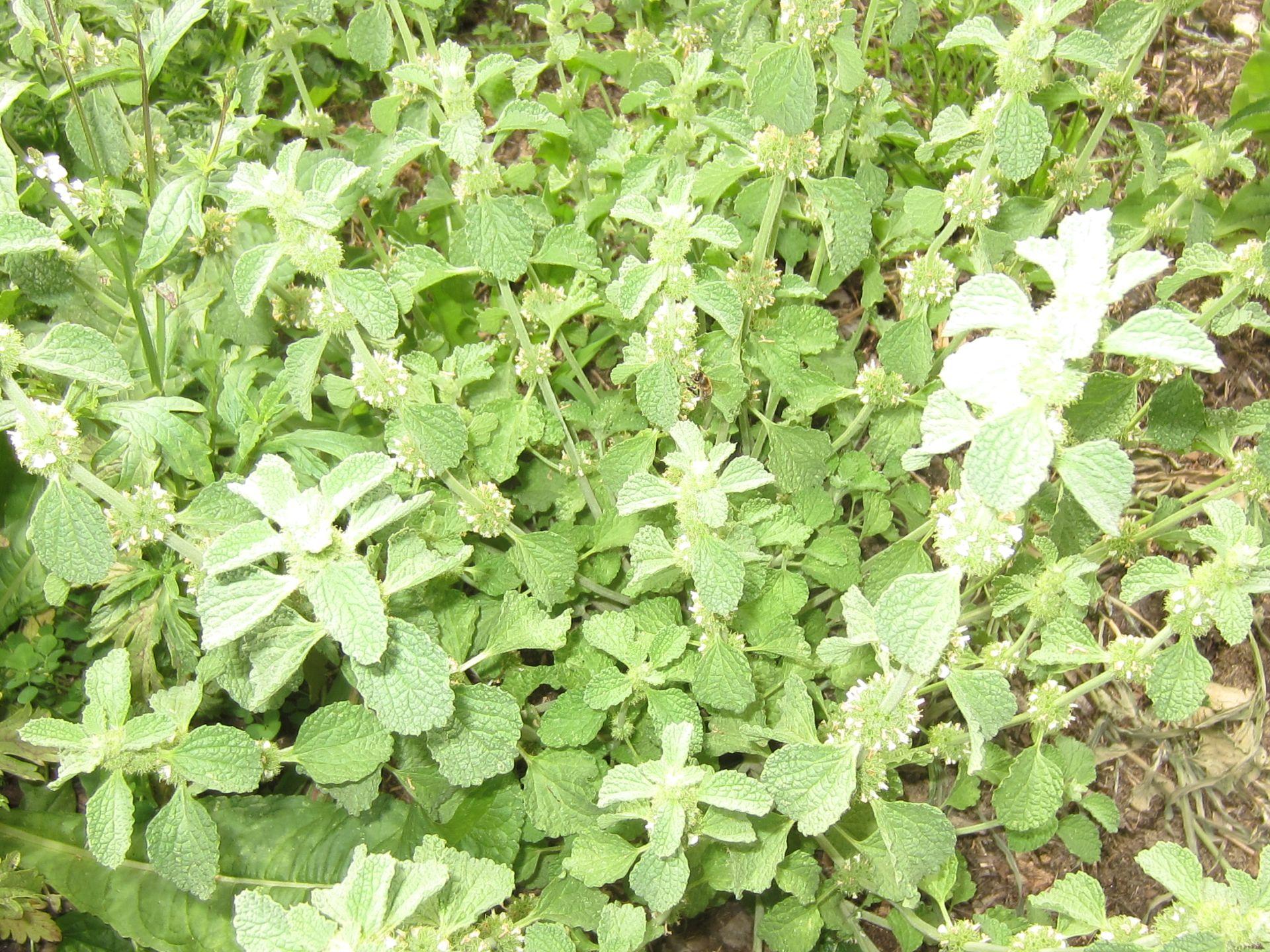 andorn – heilpflanze des jahres 2018