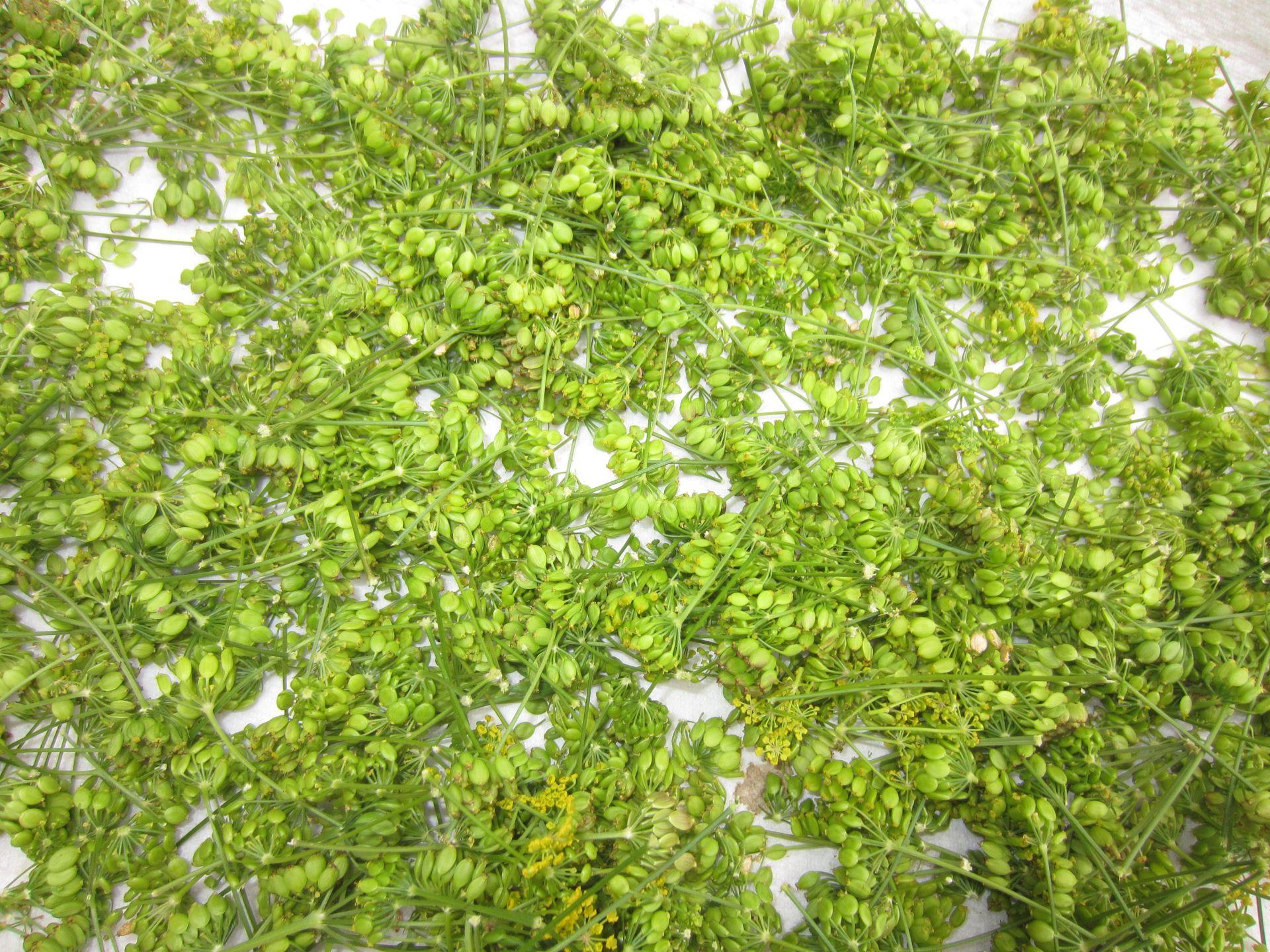 früchte der pastinake