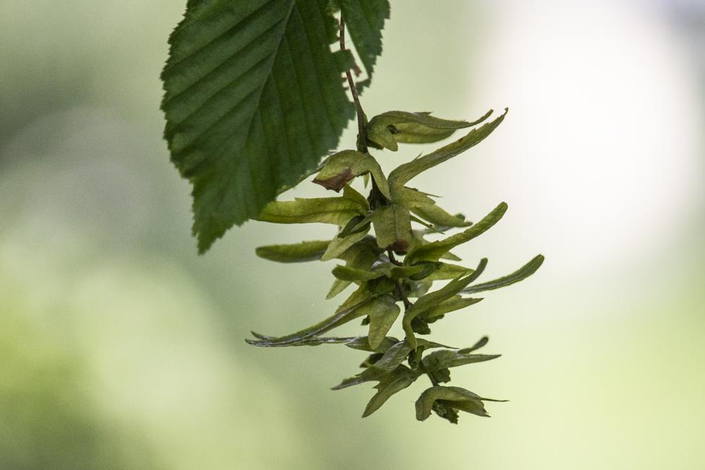 früchte der hainbuche