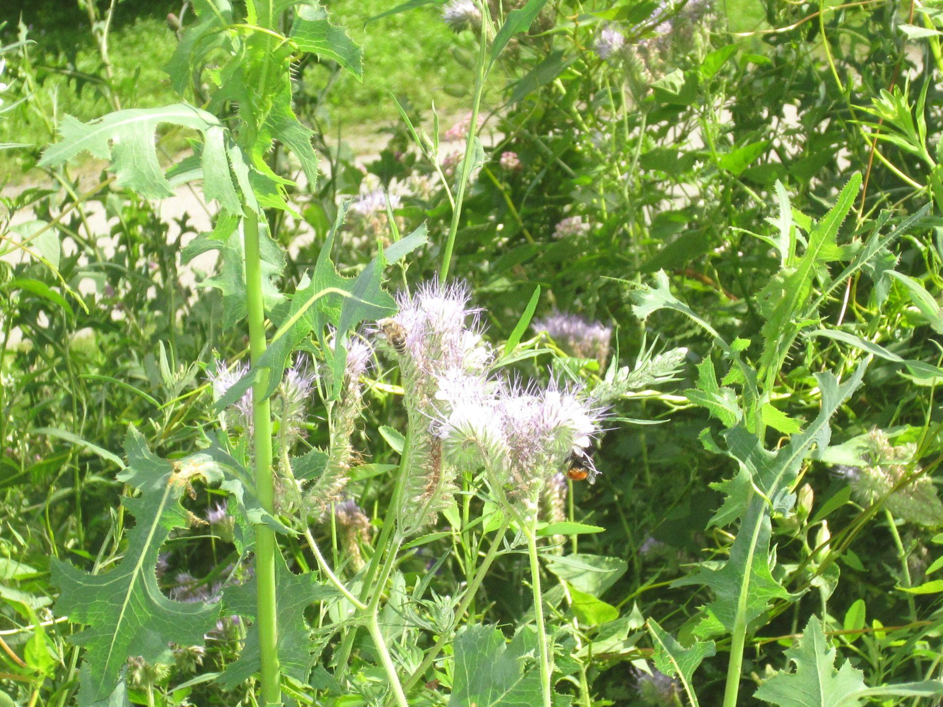 phacelia – büschelschön – büschelblume – bienenweide