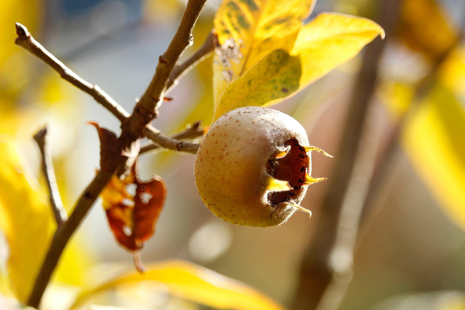 mispel – eine alte wildfrucht