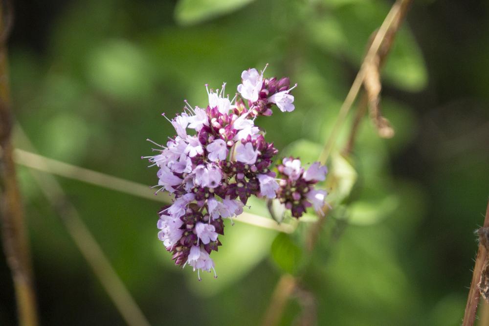 oreganoblüte