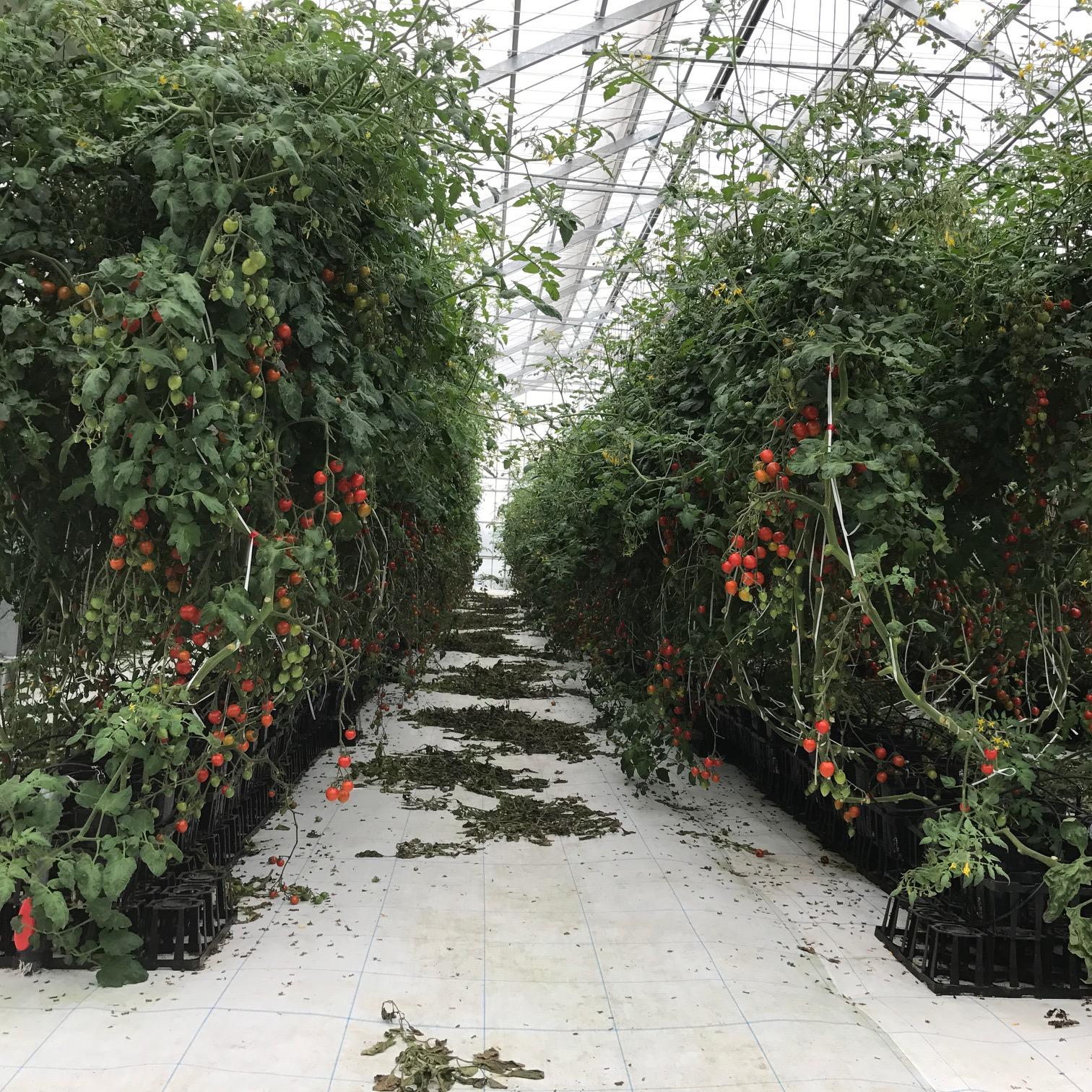 「ぐんま次世代アグリ」ミニトマト栽培