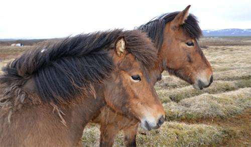 Zutrauliche robuste Islandpferde