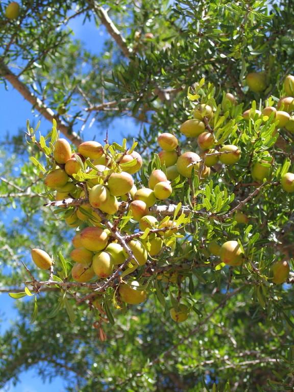 Arganien Frucht