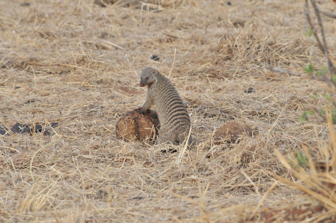 Banded Mongoose - Zebra-Manguste