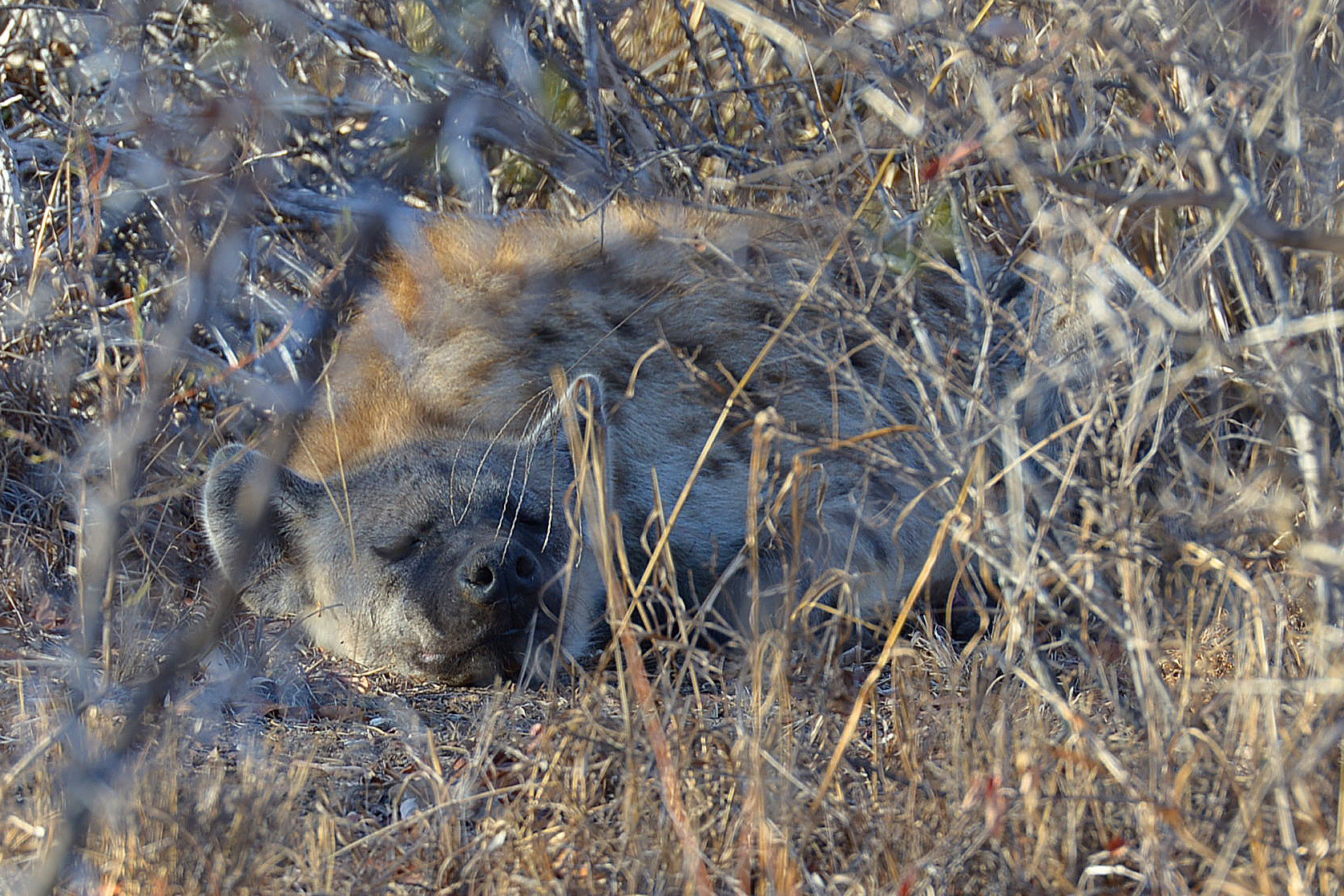 Auch die Hyänen mögen nicht aufstehen
