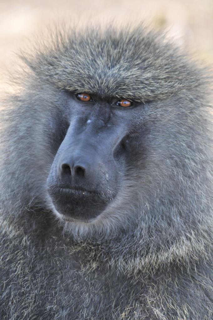 Baboon - Steppenpavian