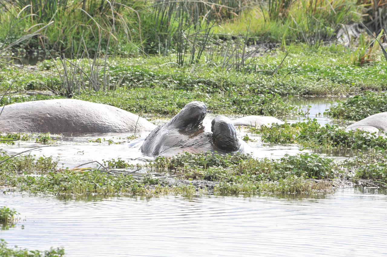 Flusspferde beim Baden
