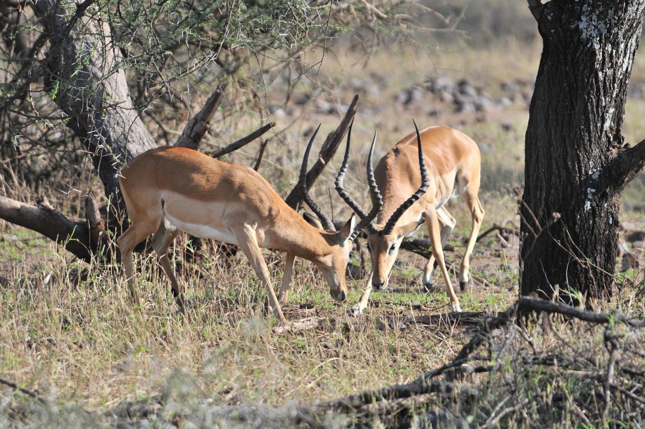 ... oder streitet sich - Impalas