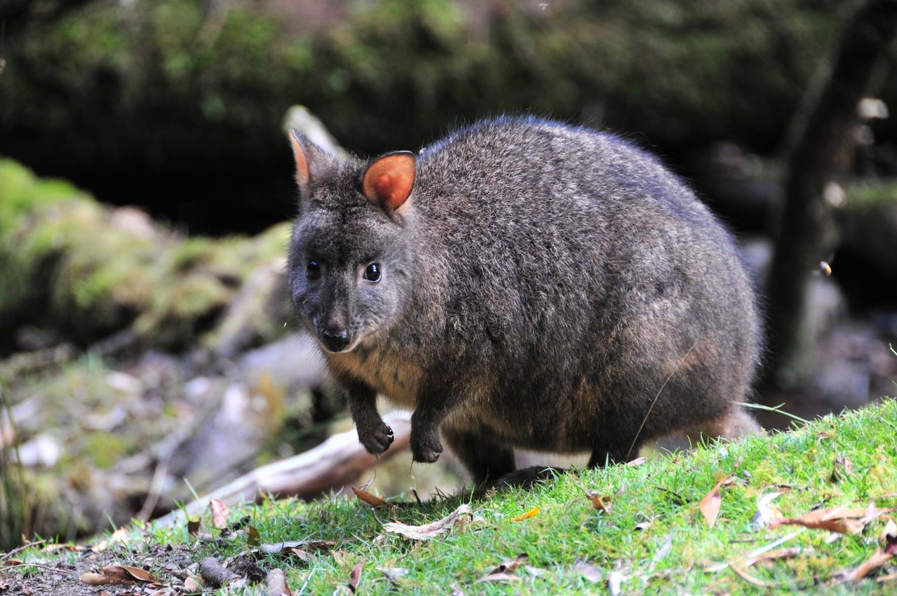 Wallaby oder Quokka?