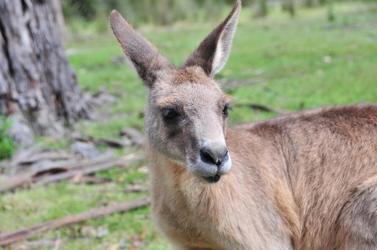 Rotes Känguruh