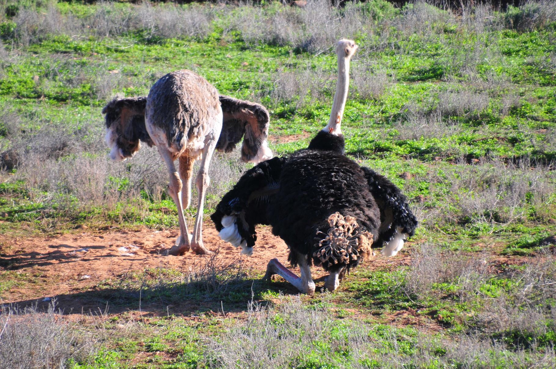 Ein Paar benötigt mindestens 2500 m2 und in Little Karoo werden hunderte Paare gehalten