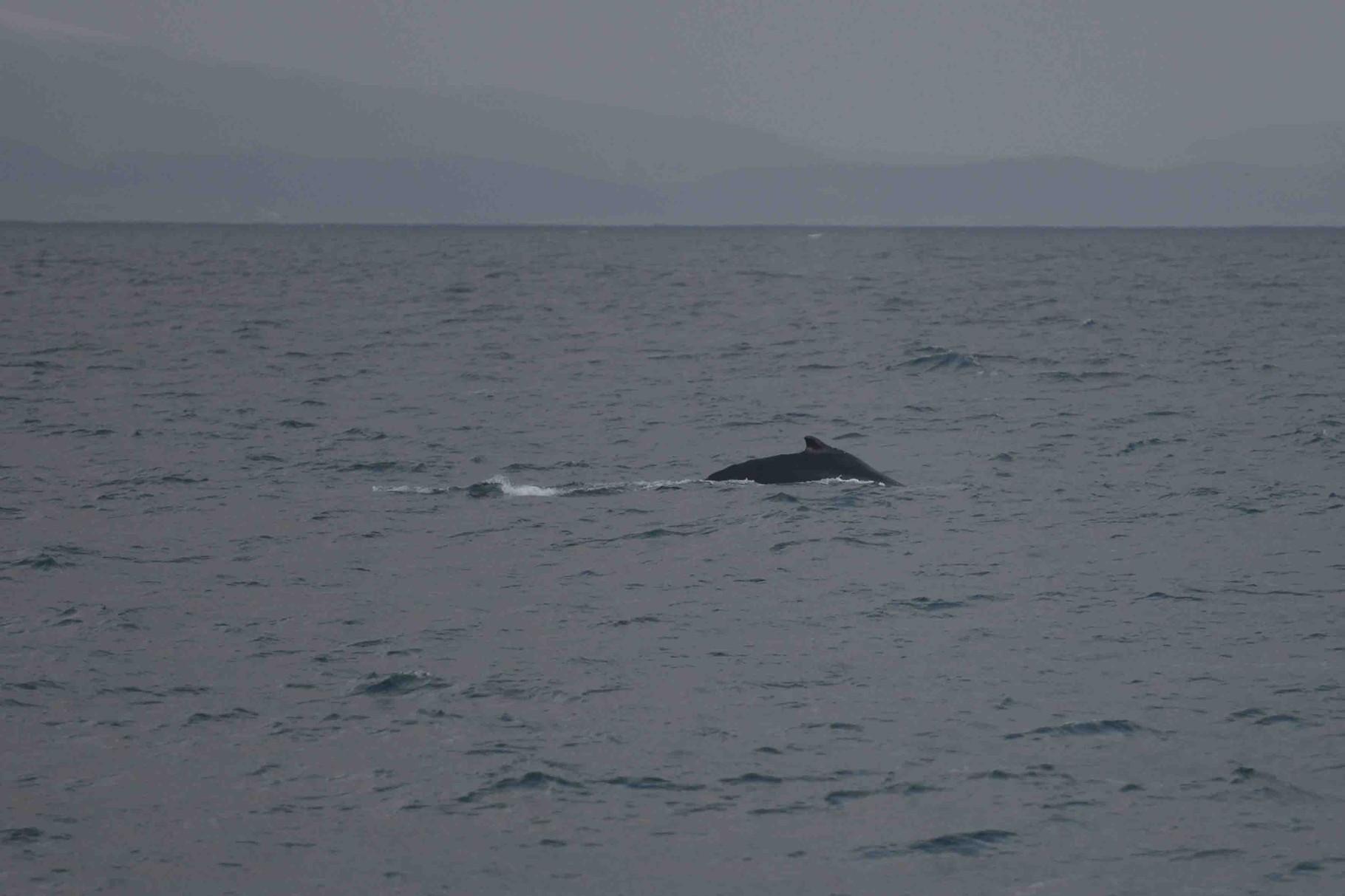 Minkwal (minke whale)