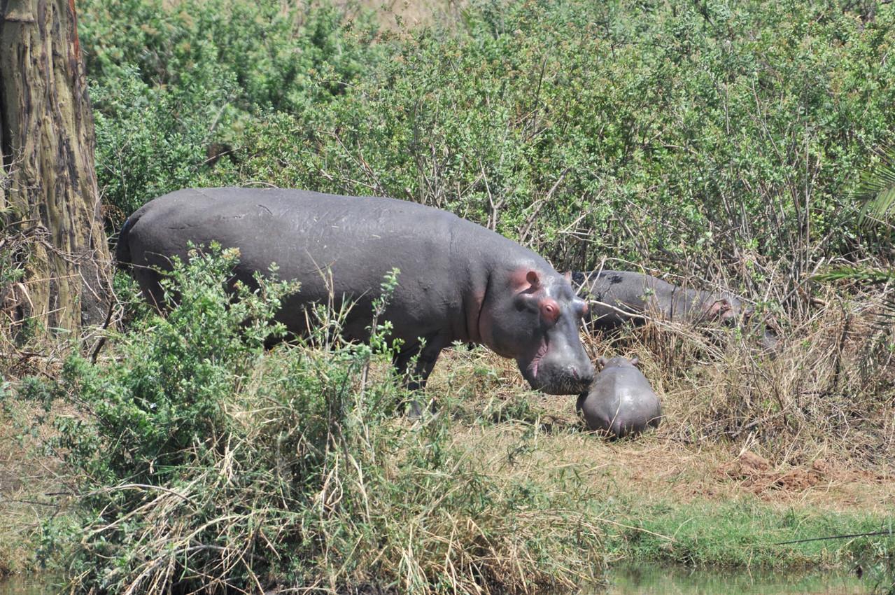 Hippo - Flusspferd mit Nachwuchs