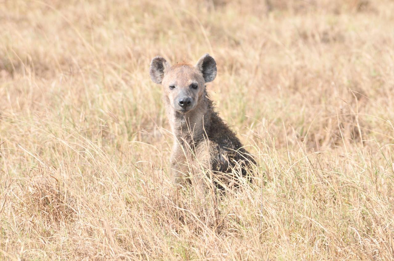 """""""Scheinheiliger"""" Hyänenhund - Hunting Dog"""