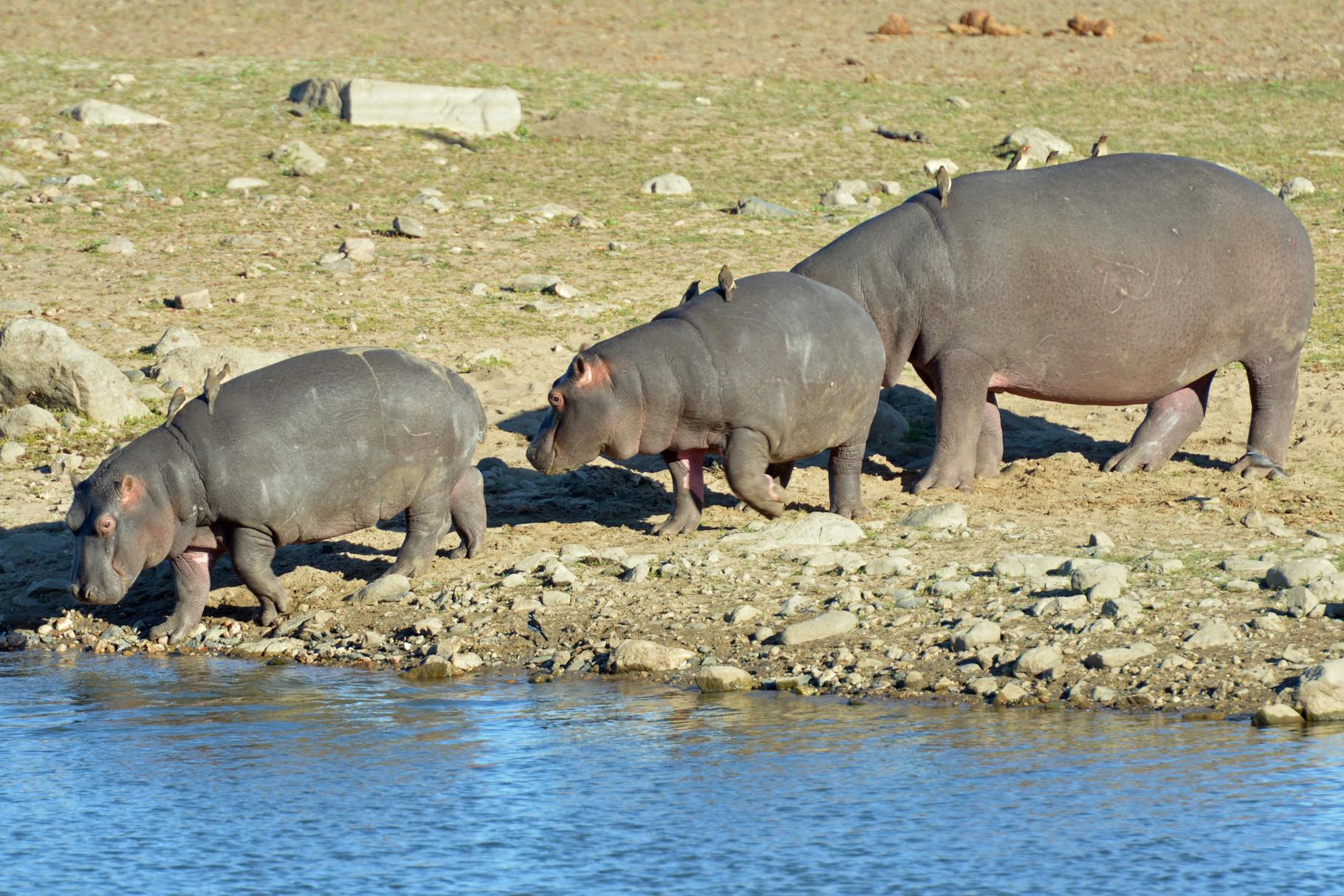 Wieso heissen die eigentlich Flusspferde?