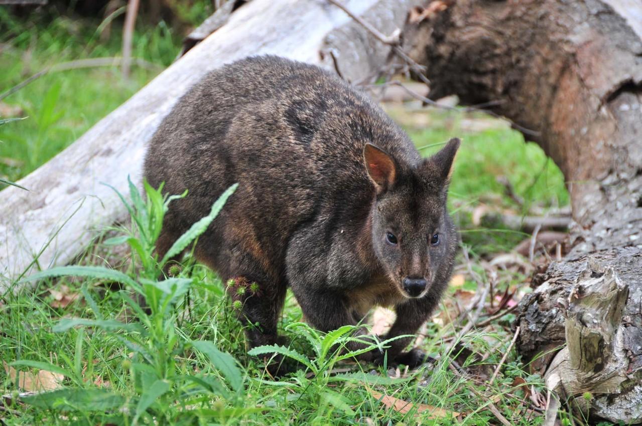 Wallaby oder Quoll? (Die Schwanzlänge definiert)