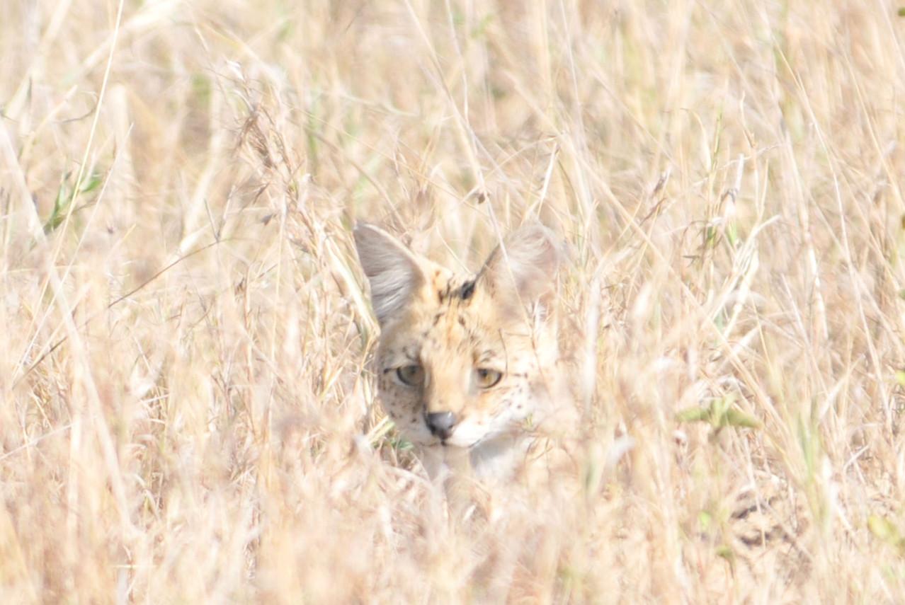 Serval - Afrikanische Wildkatze