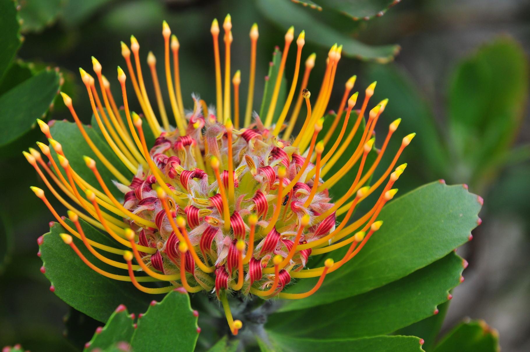 """Die Anlage ist riesig - Ein riesiger Bereich gehört alleine der Nationalblume """"Protea"""""""