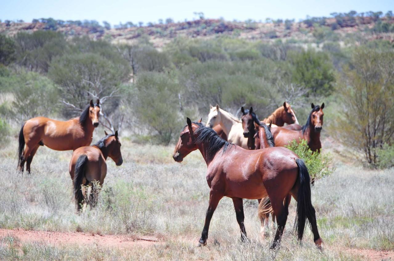 Wildpferde auf der Fahrt zum Kings Canyon entdeckt