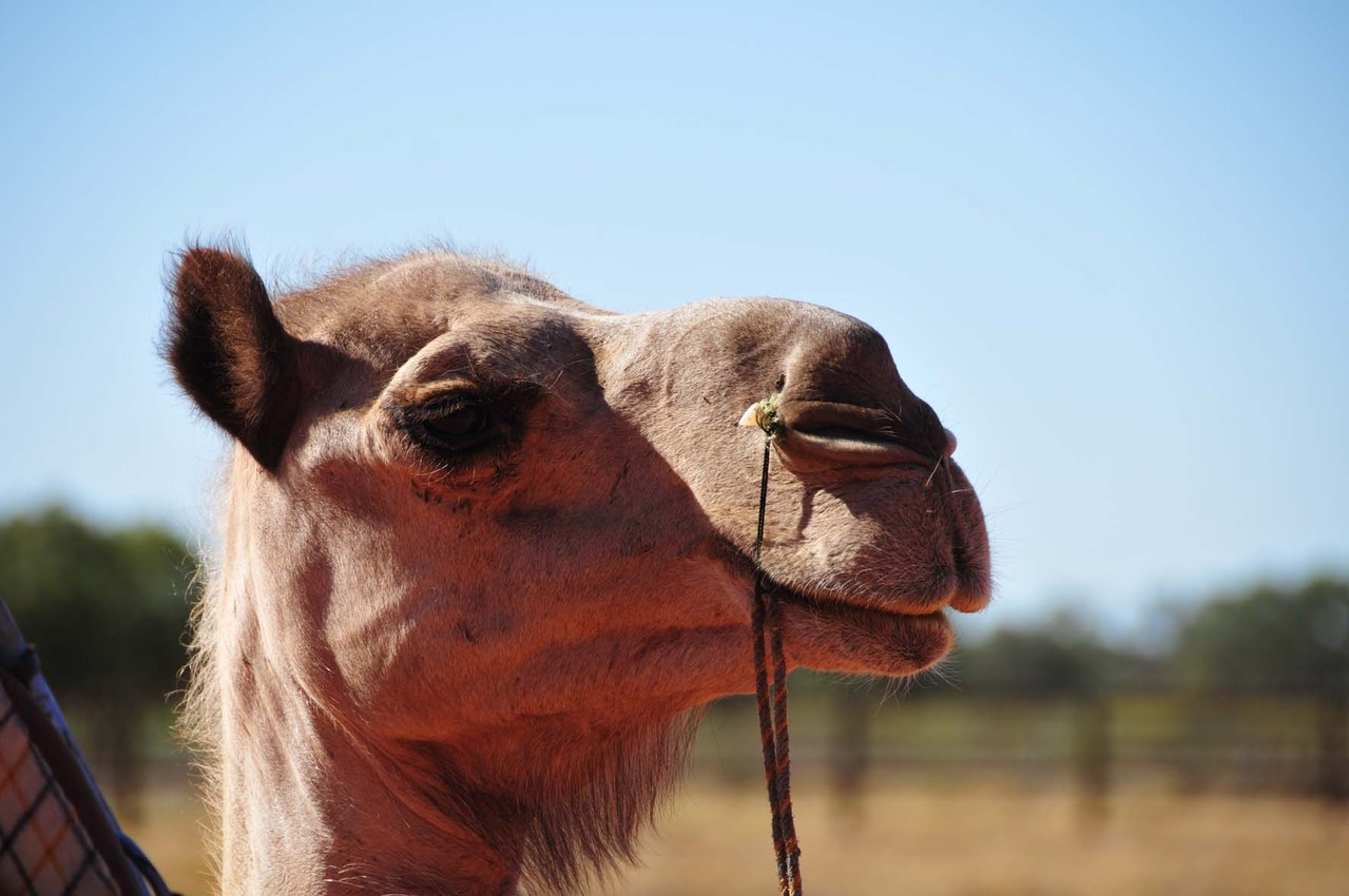 Kamel Farm im Outback