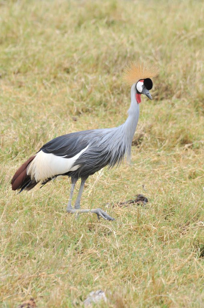 Crowned Crane - Kronenkranich