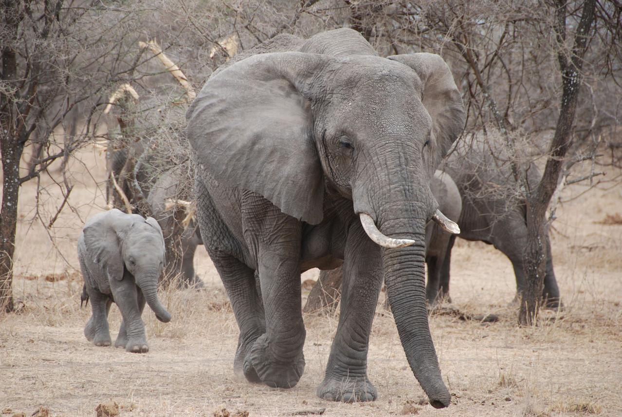 Elefantenherde mit Nachwuchs