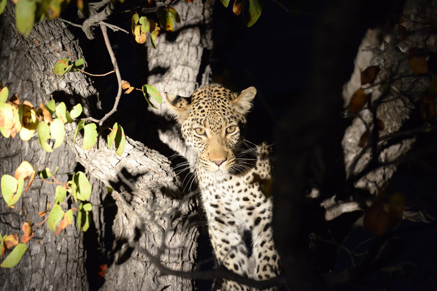 Der Leopard im Scheinwerfer Licht entdeckt und ohne Blitz abgelichtet